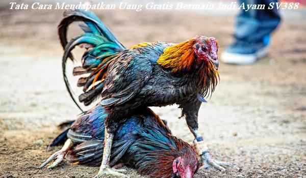 Tata Cara Mendapatkan Uang Gratis Bermain Judi Ayam SV388
